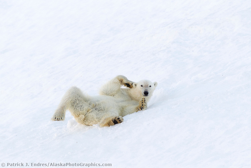 Polar bear rolls in the snow in northern Svalbard.