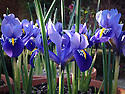 Iris reticulata 'Gordon', mid March.