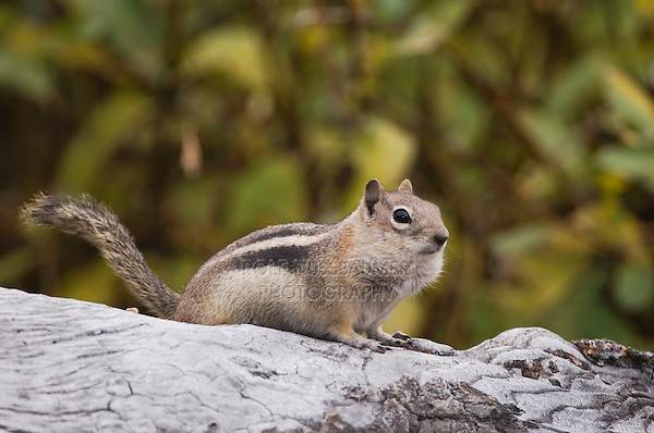 Golden-mantled Ground Squirrel, Spermophilus lateralis, adult on log with food stored in their cheek pouches, Rocky Mountain National Park, Colorado, USA