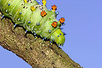 Cecropia Moth Caterpillar (Hyalophora cecropia) on tree branch.