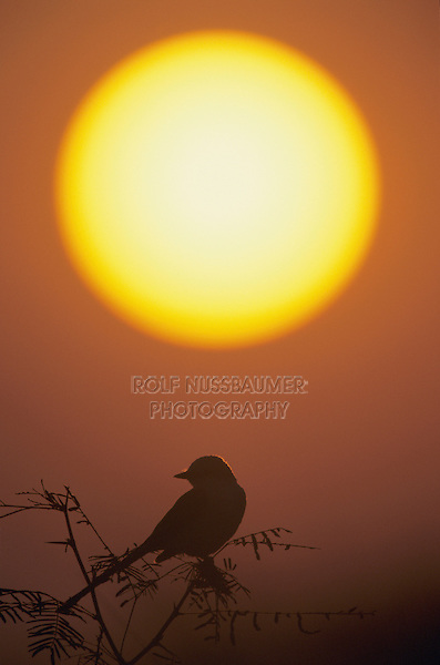 Scissor-tailed Flycatcher, Tyrannus forficatus,female at sunset, Starr County, Rio Grande Valley, Texas, USA