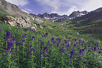 Mountains and wildflowers in alpine meadow, Tall Larkspur,Delphinium barbeyi, Ouray, San Juan Mountains, Rocky Mountains, Colorado, USA, July 2007