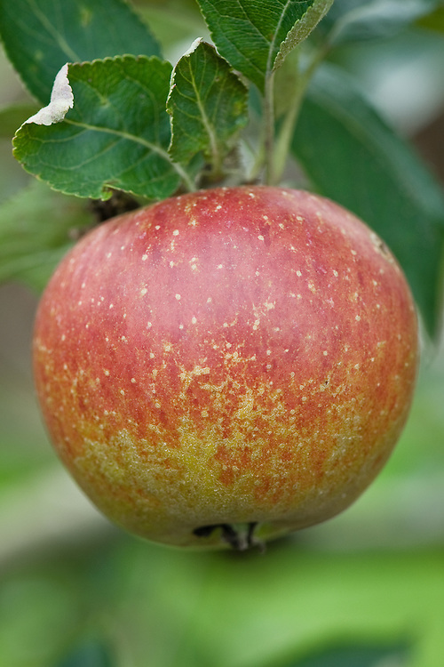 Apple 'Suntan', early September. An English dessert apple bred in 1956 by H.M. Tydeman at the East Malling Research Station in Kent.