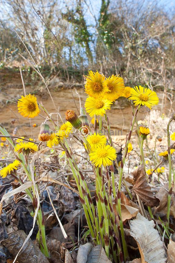 Tussilage = Pas d'Âne (Tussilago farfara). Les fleurs sortent en fin d'hiver, début printemps,  avant les feuilles // Coltsfoot, Tussilago farfara