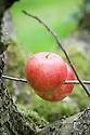 Apple 'Gloucester Cross', mid September. An English dessert apple from Bristol, first bred in 1913.