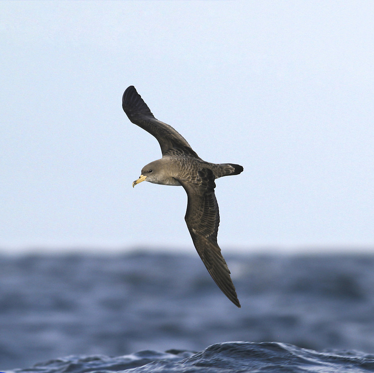 Cory's Shearwaters Calonectris diomedea visit to feed from the Mediterranean and Atlantic islands which is quite a journey.