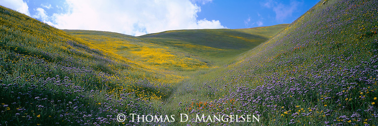 Wildflowers bloom on the rolling hills of the Tehachapi Mountains in California.