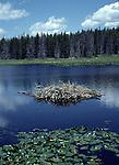 Beaver den in pond in Grand Teton National Park