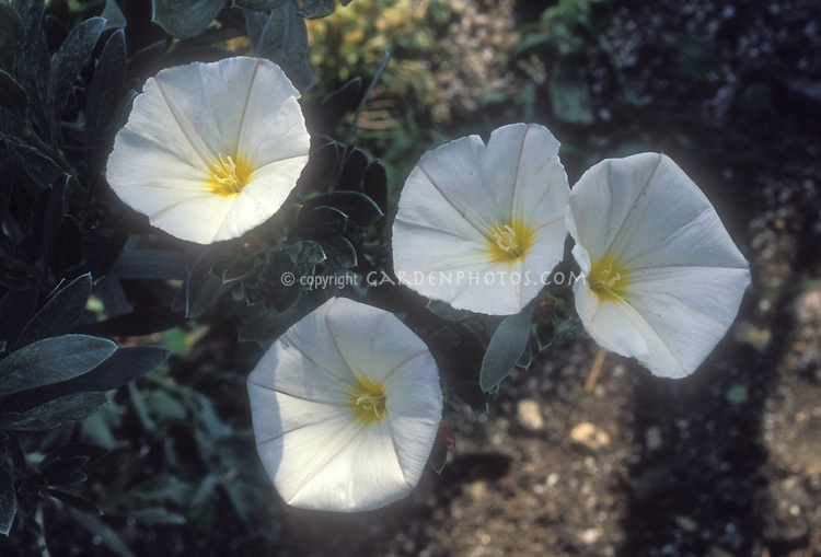 Convolvulus cneorum in white flowers, bindweed or silverbush, can be invasive plant