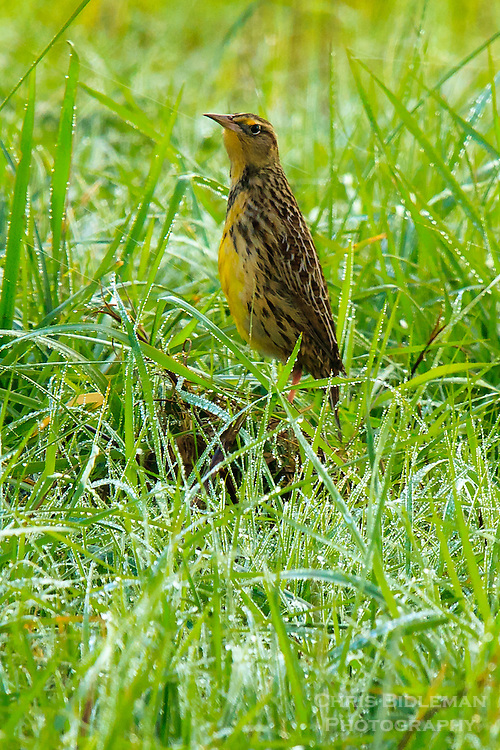 A Western Meadowlark is seem standing tall and upright in a grassy field with morning dew glistening in the sun at the Ridgefield National Wildlife Refuge