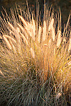 Sabino Canyon Recreation Area, Tucson, Arizona; Deer Grass (Muhlenbergia rigens) backlit by the sun