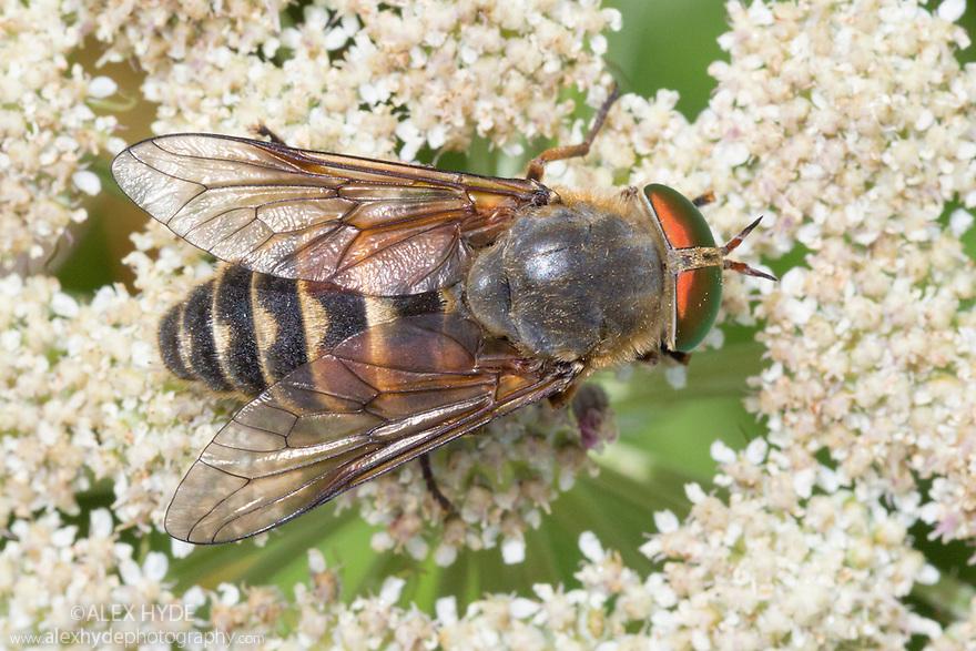Horsefly {Philipomyia aprica}. Nordtirol, Austrian Alps, Austria, July.