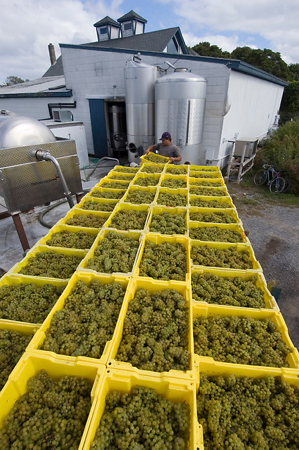 Chardonnay grapes arrive for crushing at Lenz winery, on Long Island's North Fork.