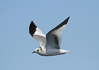 Sabine's Gull Xema sabini L 30-35cm. Distinctive seabird. Can only be confused with juvenile Kittiwake but upperwing patterns are separable with care. Sexes are similar. Adult in summer has blue-grey back and upperwings, dark hood, dark wingtips with white spots and dark bill with yellow tip. In flight, upperwing pattern is diagnostic: triangular patches of black, white and grey. Tail is forked. In winter, similar but dark smudges on nape replace dark hood. Juvenile has a upperwing pattern to adult but triangle of grey replaced by scaly grey-brown. Forked tail is dark-tipped. Voice Silent. Status Nests in high Arctic and winters at sea in southern oceans. Seen here mainly as offshore passage migrant in autumn. Does not willingly come close to land.