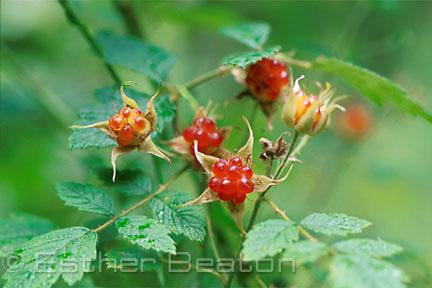 Native Raspberry (Rubus parvifolius) Yarra Ranges National Park, Victoria. Family Rubiaceae