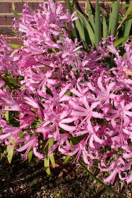 Nerine bowdenii smee plant flower stock photography nerine bowdenii smee autumn and winter flowering bulb pink blooms mightylinksfo