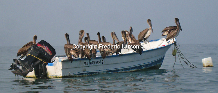 A boat load of pelicans anchored in a bay in Puerto Vallarta, Mexico.