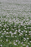 Poppies bing grown for pharmaceutical use<br /> &copy;Tim Scrivener Photographer 07850 303986<br />      ....Covering Agriculture In The UK....