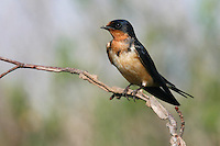 Barn Swallow - Hirundo rustica - Adult female