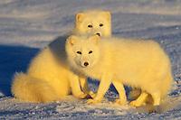 Arctic foxes (Vulpes lagopus)
