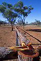 Gidgee (Acacia cambadgei) used to make traditional fence rails. Gidgee trees in bkgd. Lambert Station, near Blackall, Queensland