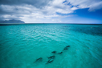 An aerial view of hammerhead sharks near the sandbar in Kane'ohe Bay, Windward O'ahu.