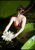 BNPS.co.uk (01202 558833)<br /> Pic: PeterWillows/BNPS<br /> <br /> A botanical marvel bloomed at the Ventnor Botanical  Garden on the Isle of Wight this weekend and gardener Hannah Rogers(17) had to bravely don her swimsuit and keep an all night vigil to capture it.<br /> <br /> The giant Amazonian lily flowers for only two night a year and plucky Hannah had to plunge into the pool to remove pollen from Victoria cruziana on its first flowering to replicate the process performed by a nocturnal scarab beetle attracted to its heavy pineapple like scent in the wild.<br /> <br /> The amazing plant first blooms in white on the first night, then changes sex and flowers the following night a deep red before sinking back under the water.<br /> <br /> VBG are attempting to hybridise the two different plants they have (V.cruziana and V. amazonica) and then produce a brand new species that will be the largest lily in the world.<br /> <br /> These massive plants have grown at an extraordinary speed in only 3 months from a seed the size of a pea carefully planted in 2 tonnes of donkey manure in a 8ft square pots. <br /> <br /> The highly controlled hot house, where the specially filtered water is kept at 26C, the air at 45C and 90per cent humidity, is powered by its own array of photovoltaic cells.