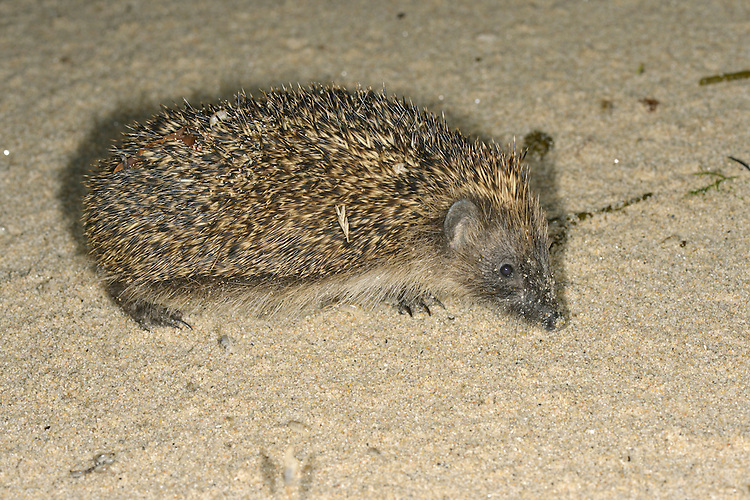 Hedgehog Erinaceus europaeus on the beach on the Isles of Scilly. Length 23-27cm Mainly nocturnal animal, protected by spines (modified hairs). Feeds mainly on invertebrates but will take food put out by people. Hibernates from Oct-Apr. Spines are erectile and an effective deterrent when animal rolls into a defensive ball. Head and underparts are covered in coarse hairs. Muzzle-shaped head ends in a sensitive nose. Utters a pig-like squeal in distress, and grunts when courting. Familiar garden resident.