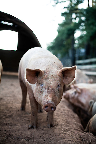 September 13, 2007, Louisburg, NC..Mae Farms, a sustainable hog farm. The hogs roam free in the large pens, eating and returning their waste to the earth, as opposed to the standard waste ponds found on most hog farms.