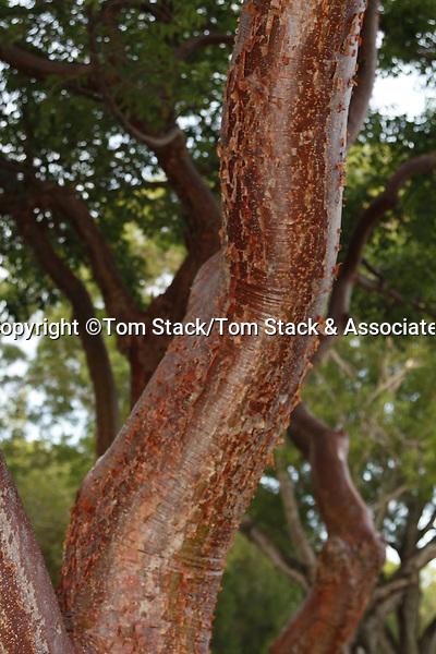 Gumbo Limbo tree, Bursera simaruba, Everglades