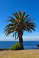 California Palm Tree off the Palos Verde Coast at Point Vicente