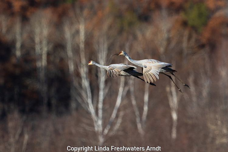 Sandhill cranes landing in Crex Meadows Wildlife Area.