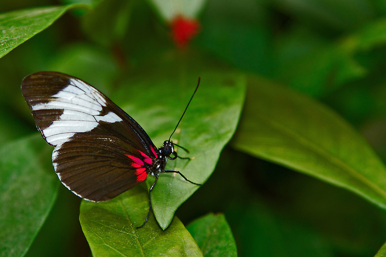 A Sapho Longwing perched on a green leaf with the white bands on its dark brown wings highlighted by bright red markings near its body.