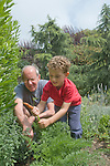 Berkeley CA Boy, five-years-old, digging up carrot with help from grandpa in organic garden  MR