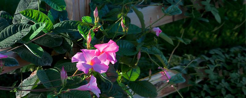 Pink Allamanda, 'Alice Dupont', (Mandevilla x amoena) growing on fence. Napa Valley, California