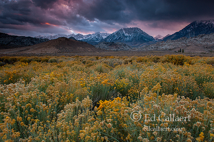 Rabbitbrush, Storm Clouds, Rabbitbrush, The Buttermilks, Mount Humphries, Basin Mountain, Mount Tom, Bishop Creek National Recreation Area, Inyo National Forest, California