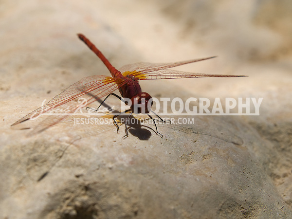 Kirby's Dropwing. <br /> <br /> Dragonfly in Jordan.