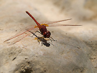 Kirby's Dropwing. <br />