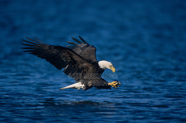 Bald Eagle, Haliaeetus leucocephalus,adult in flight fishing, Homer, Alaska, USA