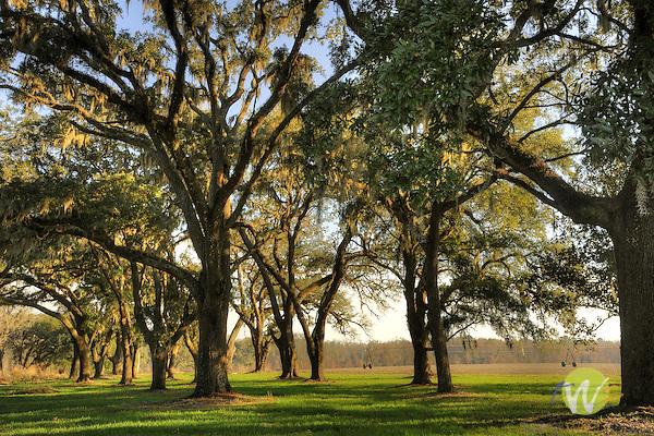 Southern Oak Trees, Robertville, SC.