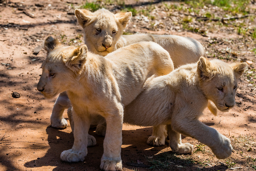 White lion cubs, Lion Park, Johannesburg, South Africa. The white lion is a rare color mutation of the Timbavati region of South Africa.