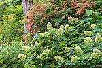 Hydrangeas and Plumleaf Azaleas at the Arnold Arboretum in Jamaica Plain, Boston, Massachusetts, USA