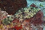 Aluterus scriptus, Scrawled filefish, Cozumel, Mexico