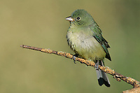 Painted Bunting - Passerina ciris - adult female