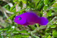 Magenta Dottyback, Pictochromis porphyrea, Pintu Barat, Mapia Atoll, West Papua, Indonesia, Pacific Ocean