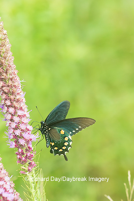 03004-01518 Pipevine Swallowtail (Battus philenor) on Prairie Blazing Star (Liatris pycnostachya) Marion Co. IL