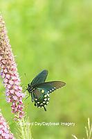 03004-01518 Pipevine Swallowtail (Battus philenor) on Prairie Blazing Star (Liatris pycnostachya) Marion Co. IL