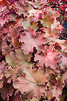 Heuchera 'Kassandra' in fall