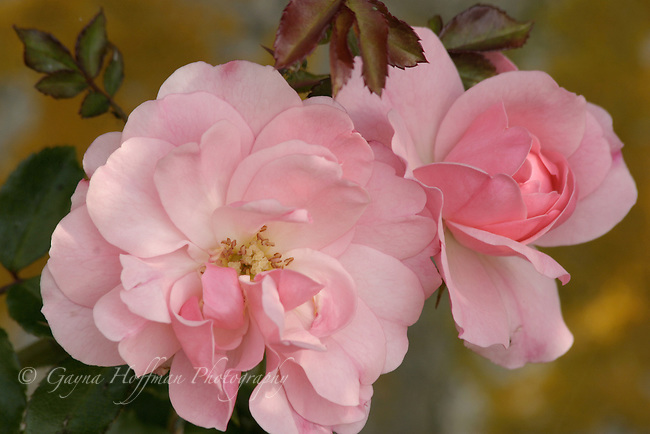 Close-up of pink beach roses.