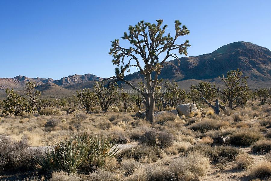 Joshua Trees, Mojave Desert